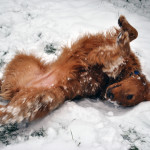golden retriever rolling in the snow