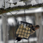 photo of Northern Flicker on suet feeder