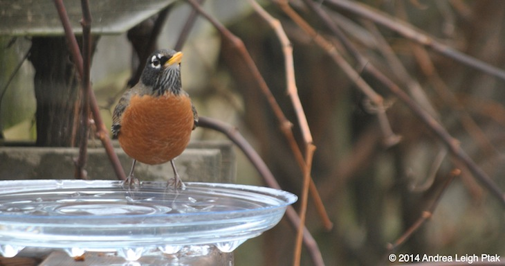 A robin gets a drink at a backyard birdbath.