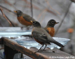 robins at a backyard birdbath in winter