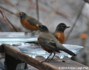 robins at a backyard birdbath in winter