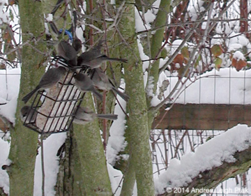 bush tits at a suet feeder in the snow