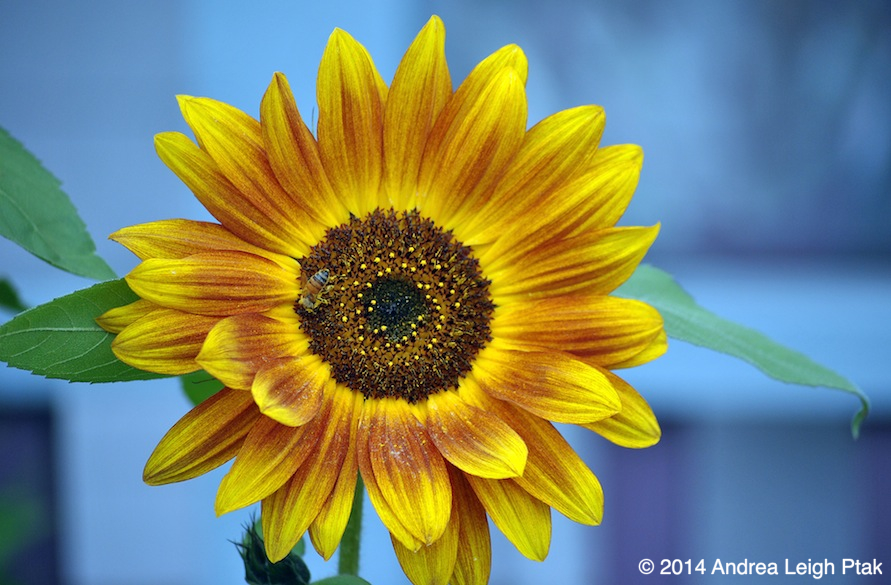 Sunflower-Quick Preset_891x585