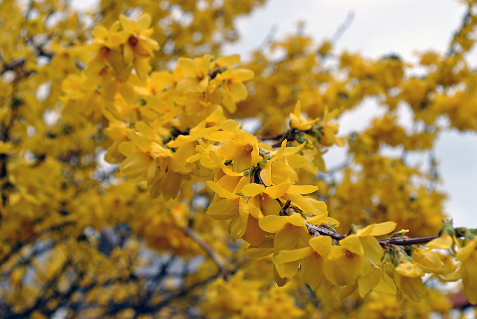 blooming forsythia in a garden