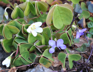 Oxalis Oregana with native violets