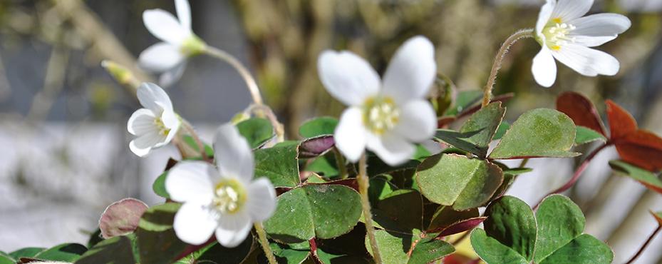 Oxalis Oregana in bloom