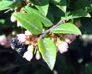 Mason Bee on native huckleberry blossom