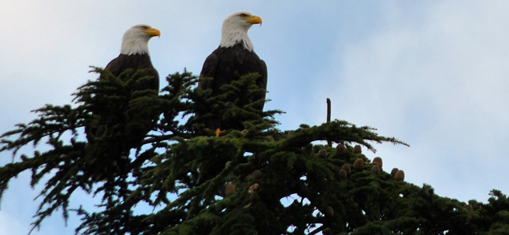 Two bald eagles atop a pine tree