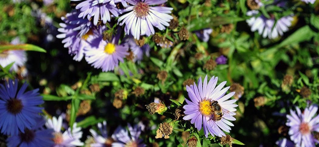 A honeybee gather pollen off a native aster flower.
