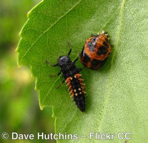 Ladybug larva and pupa