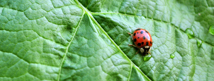 Close-up of ladybug on grape leaf
