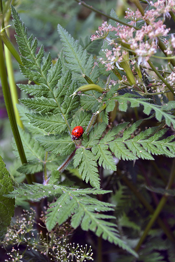 Ladybug on Sweet Cecil