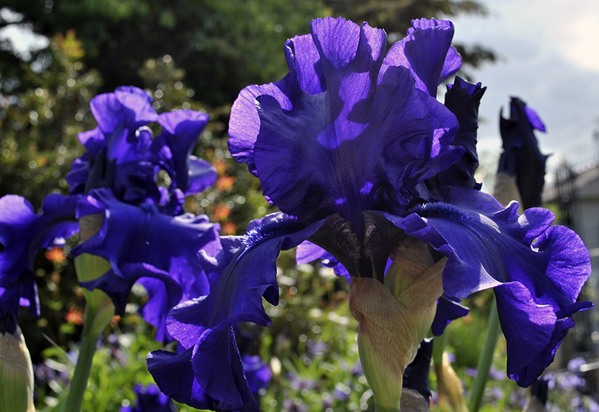 a rich, dark blue iris
