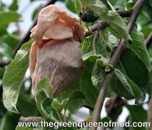 Socked apples can ward off maggots