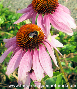 Native bumblebee on cone flower