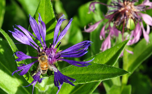 Honeybee on Mountain Bluet