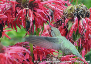 Anna's Hummingbird sips from Bee Balm