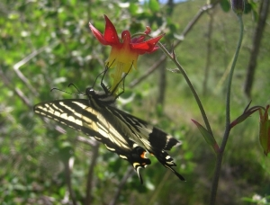 Pale swallowtail on Mountain Columbine