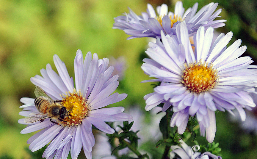 Native asters bloom well into September