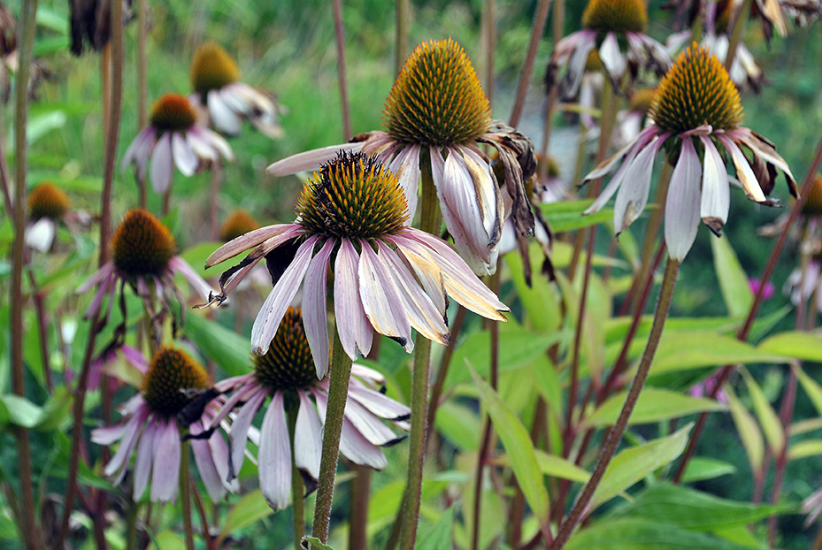 Fading coneflowers in late summer