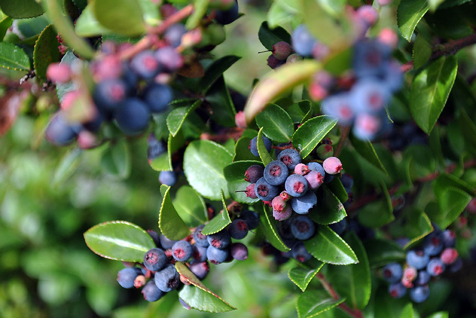 Deep purple native huckleberries