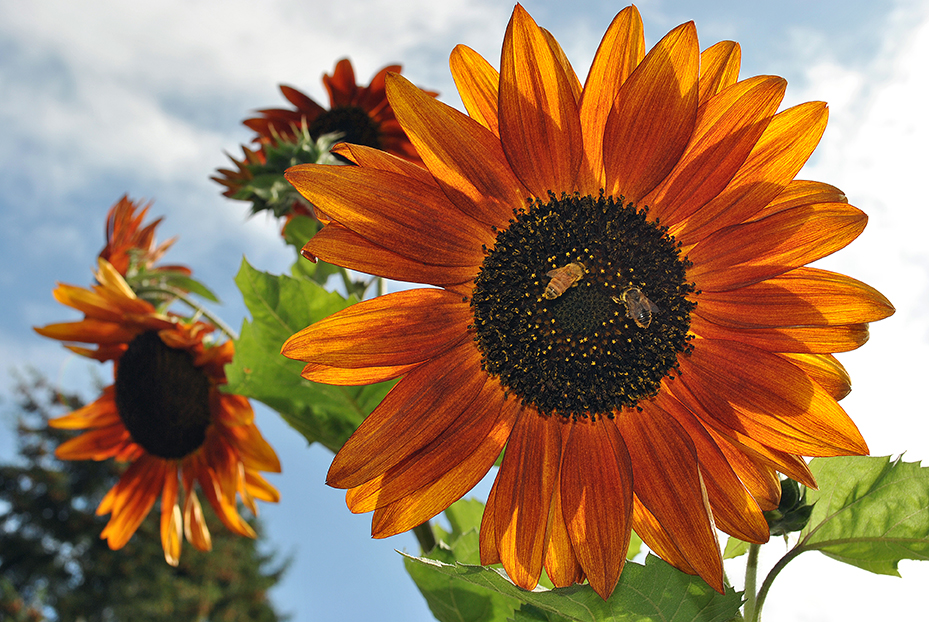 Two species of bees on a sunflower