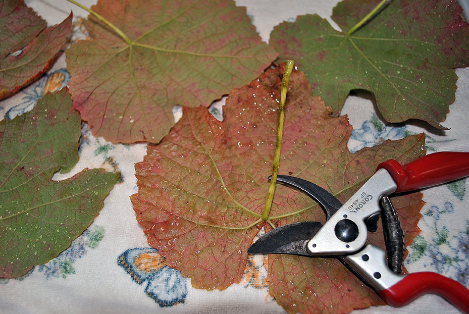 Blotted grape leaves with nippers