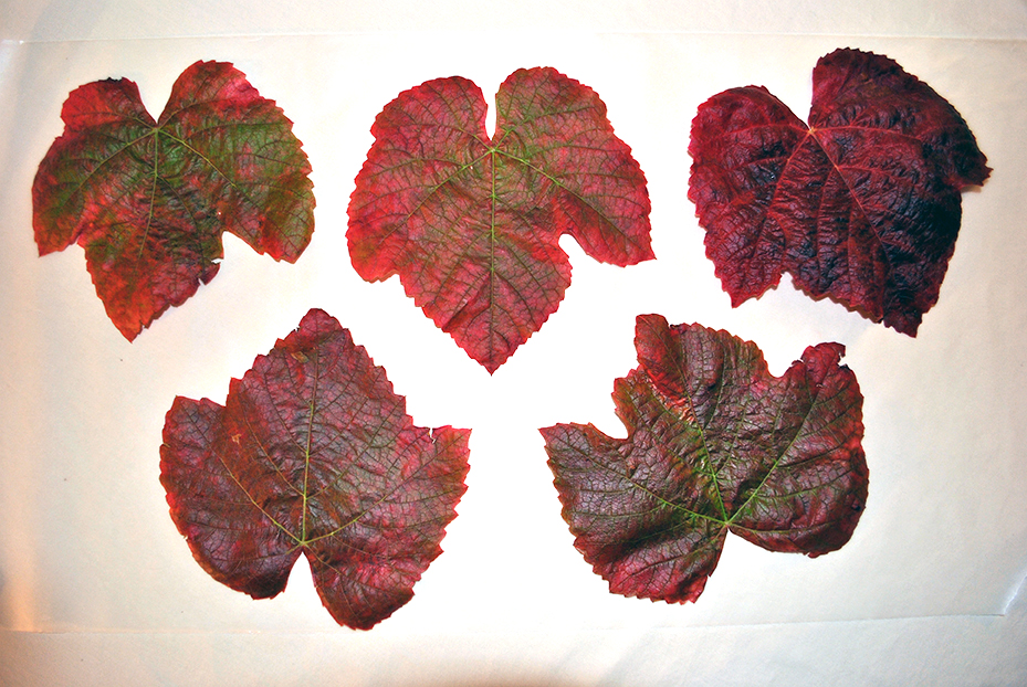 Leaves arranged on the bottom layer of the wax paper