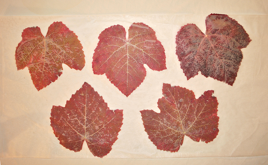 Leaves fused between two layers of wax paper