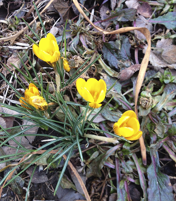 The first crocus of spring
