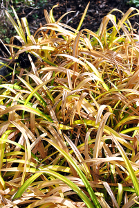 Grasses left to dry in the garden