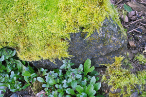 A mossy-covered rock in my garden
